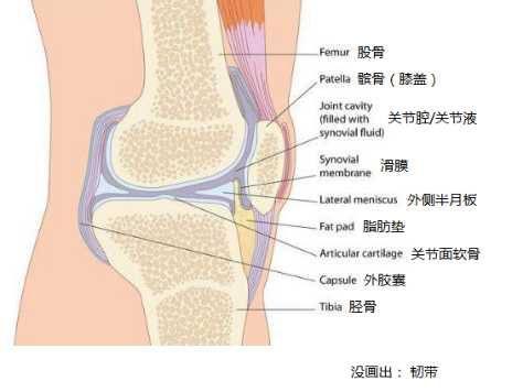 膝关节组成结构